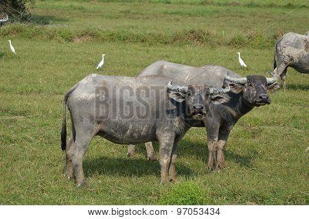 buffalo in paddle field