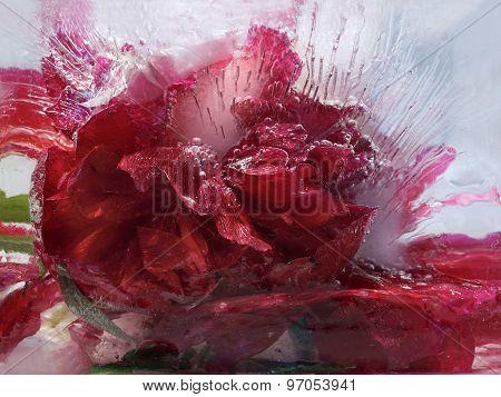 Frozen   Flower Of         Peony