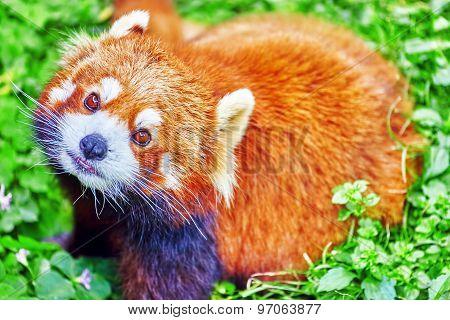 Cute Red Panda.