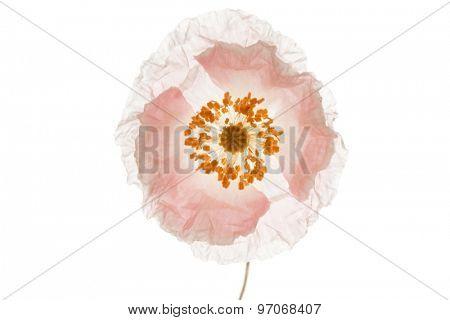 single poppy isolated