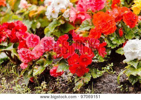 colorful begonia