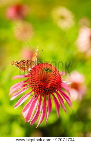 Summer garden - Colorful butterfly on flower purple coneflower (Echinacea)