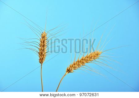 Two Wheat Ripe Ears Spikes Under Clear Blue Sky