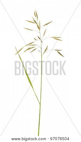 wild green plant isolated on white background