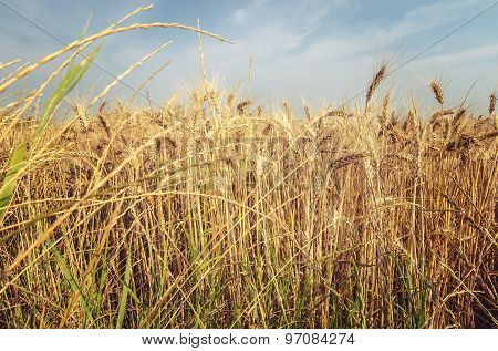 Grain field.