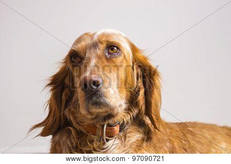 english setter dog