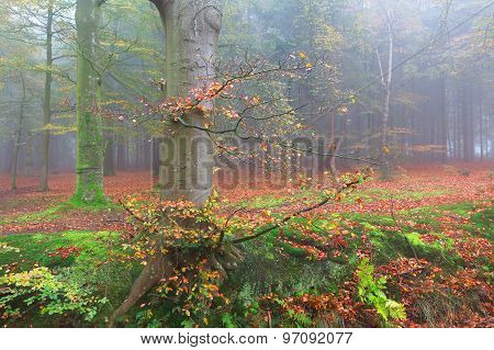 Beech Foggy Forest In Fall