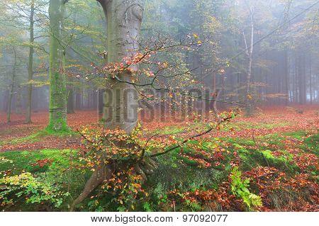 Beech Foggy Forest In Fall