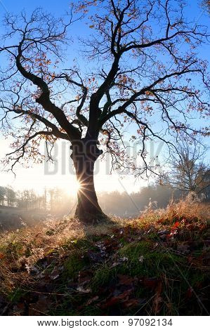 Misty Sunrise Behind Oak Tree In Autumn