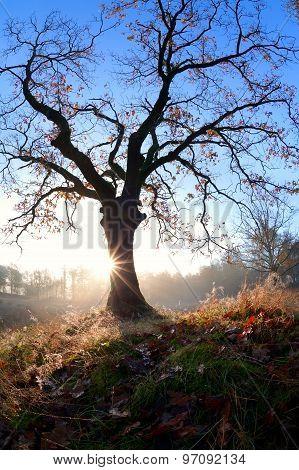 Misty Sunrise Behind Oak Tree In Autumn