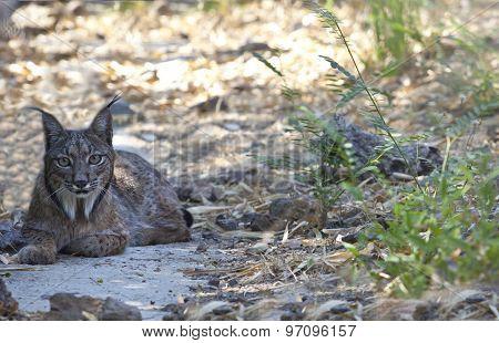 Iberian Lynx Resting