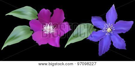 illustration with large blue and pink two flowers isolated on black background