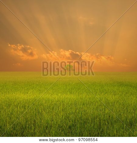 Rice Field And Sunset For Background