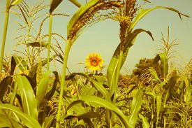 picture of millet  - Millet is used as food fodder and for producing alcoholic beverages - JPG