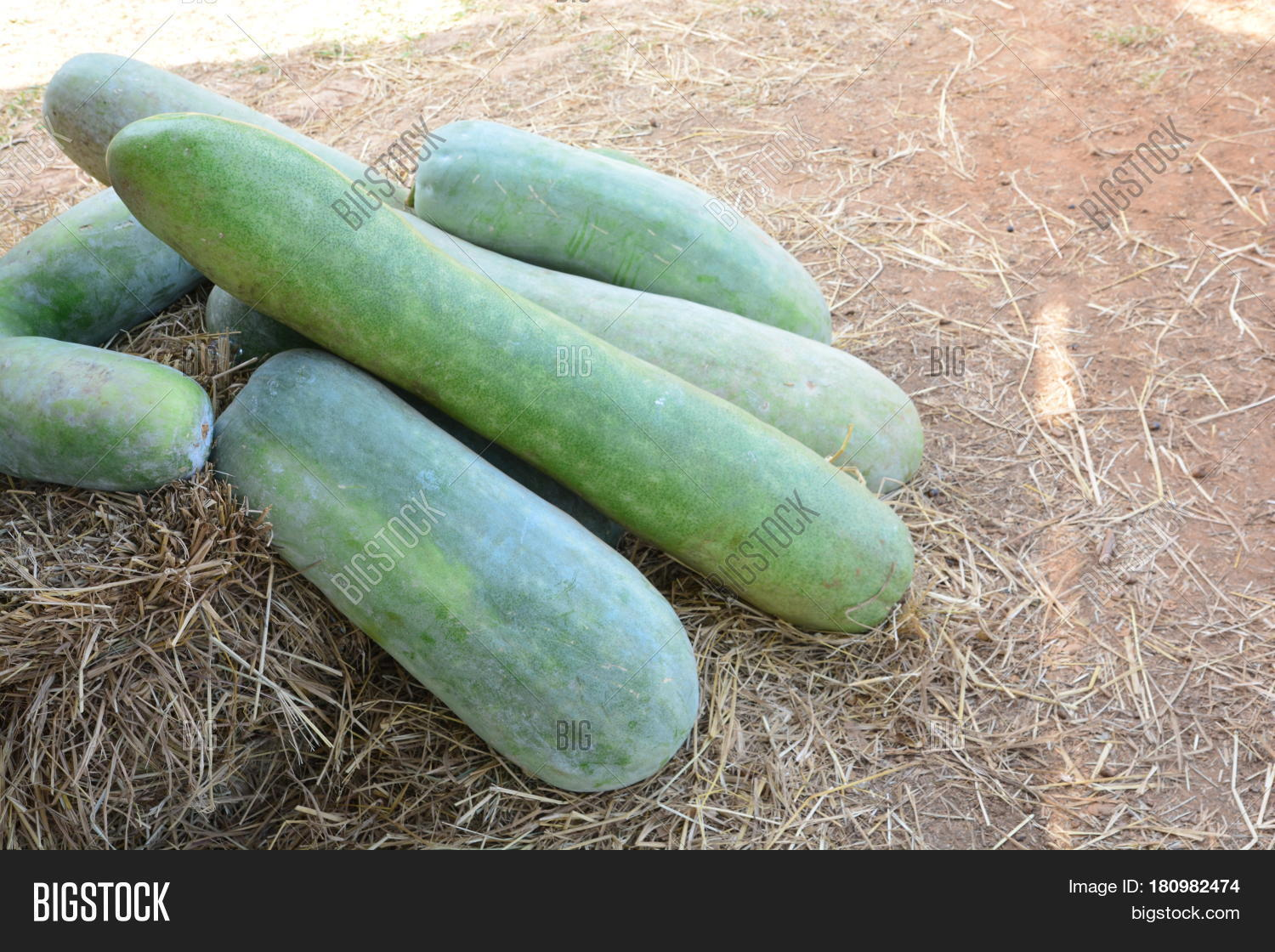 winter melon vegetable garden image u0026 photo bigstock