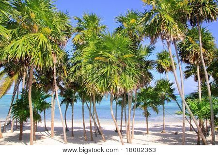 Chit palm tree in caribbean tropical beach Mayan Riviera Mexico