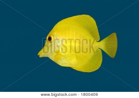 Yellow Fish On Blue