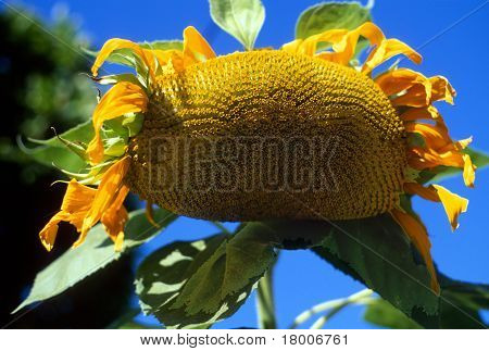 Drooping Giant Sunflower