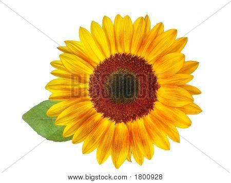 Sunflower Hdri