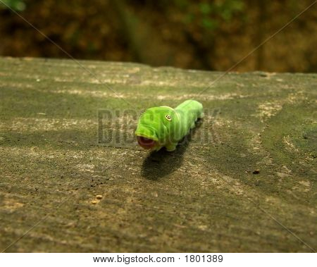 Tiger Swallowtail Butterfly Larva