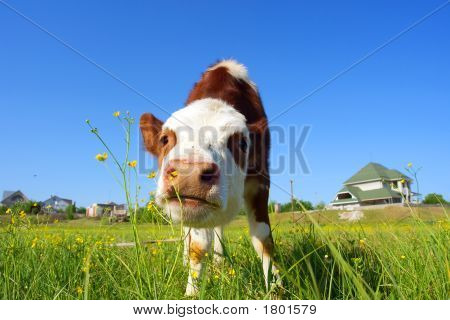 Cute Bull-Calf Smells Wild Flowers In Front Of A House - Focus On Nostrils