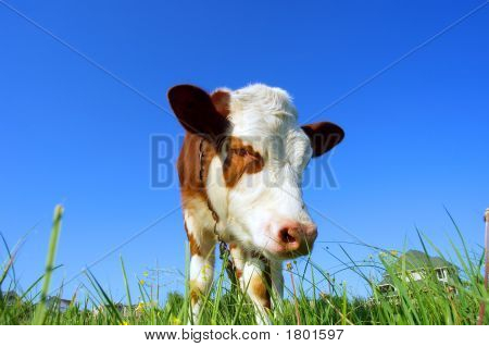 Closeup Of Cow'S Muzzle In Sunset Light