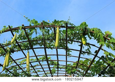 Image of luffa farm outdoors in Thailand