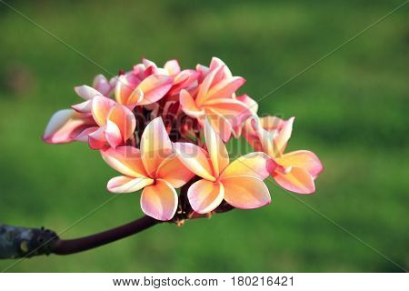 Close up of pink plumeria flowers in tropical garden, Thailand