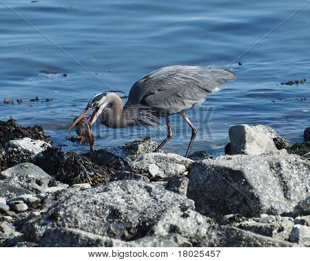 Great Blue Heron (ardea Herodias) With Catch