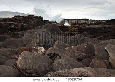 Sea Lion Resting On Rocks