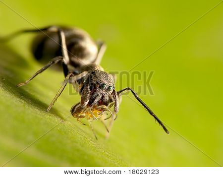 Macro shot of an ant-mimic jumping spider