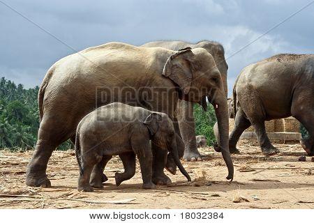 Elefant Family In Open Area