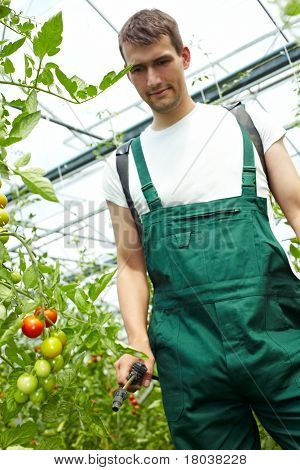 Farmer Manuring Tomatoes