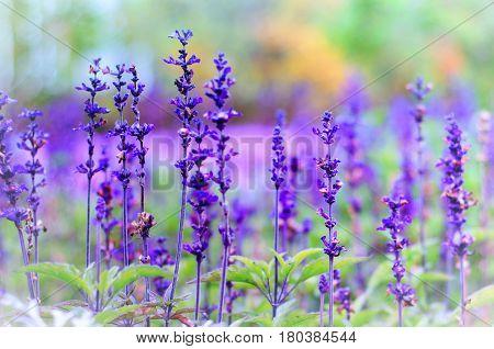 violet lavender flowers on a green blurred background
