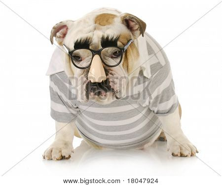 funny dog - english bulldog wearing groucho marx glasses with sulking expression