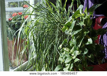 Lemongrass and philodendron plants on the floor inside a living room by the sliding glass. Philodendron and lemongrass houseplants in a sunny home window.