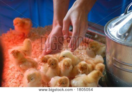 Chicken 101 4