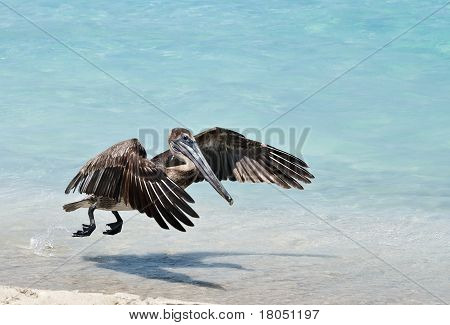 Hovering Pelican