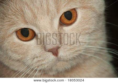 Scotish  Fold Cat