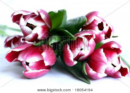 A beautiful bunch of variegated red and pink tulips isolated on white