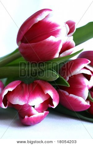Three variegated pink and white tulips isolated on white