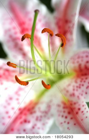 Close up of a stargazer lily - Lilium Stargazer , short DOF