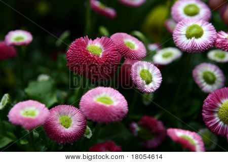 Low growing pink and fuchsia ground covering flowers.