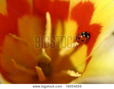 Extreme close up of a ladybird sunning itself on a stamen of a tulip, shallow depth of field