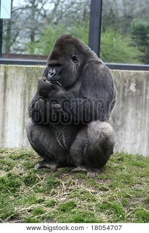 Sitting pretty : A female gorilla perched on a mound enjoying some dry straws