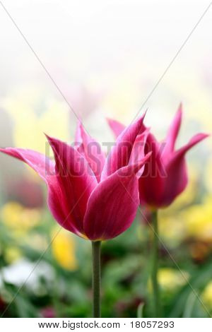 Single spring time tulips in it's natural environment, rendered with white background.