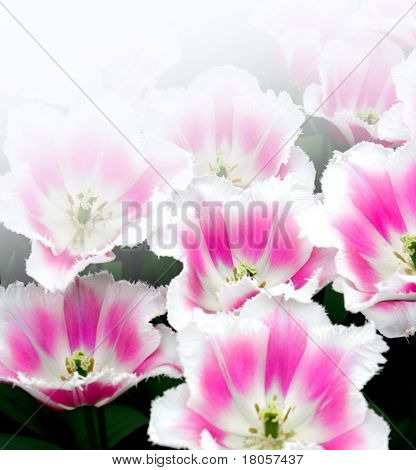 Pink and white spring time tulips in it's natural environment, rendered with white background.