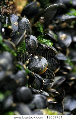 Fresh live mussel stuck fast on breakwaters by the seashore.
