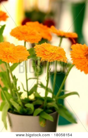 Pretty orange flat dahlia flower heads on display in vase at village show.