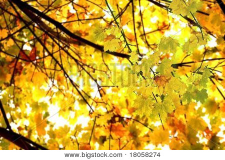 Looking up at the tree canopy showing bright autumn leaves in bright color just before falling to the ground.